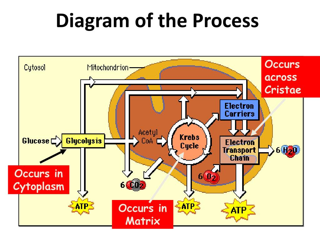 Ppt - Cell Energy Ppt Chapter 9 Powerpoint Presentation