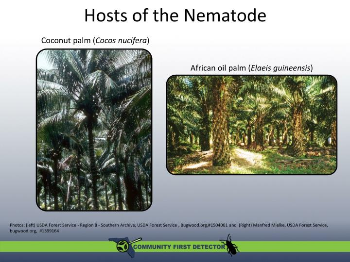 Hosts of the nematode