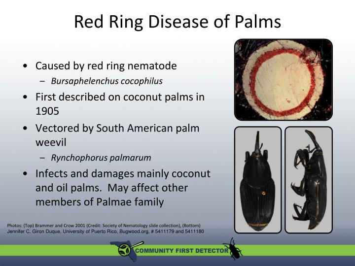 Red ring disease of palms1