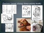canines meat slicing sharp pointy teeth