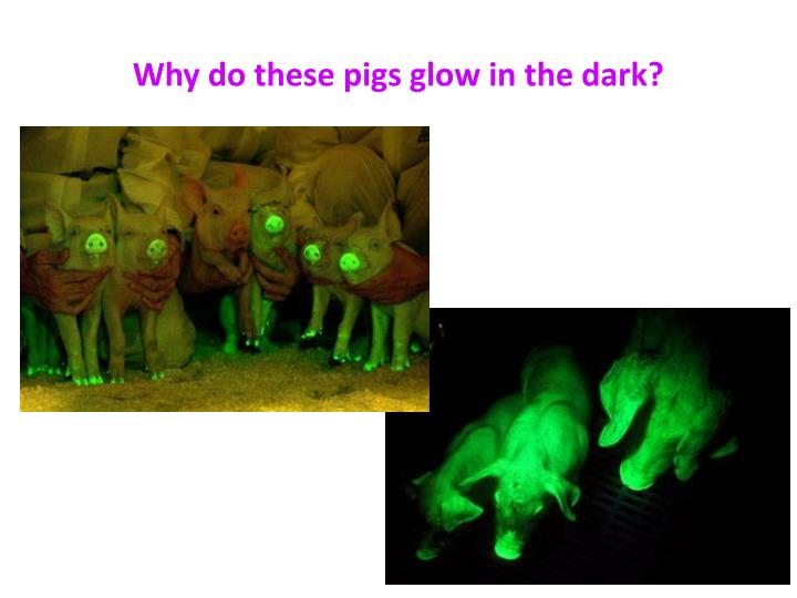 why do these pigs glow in the dark n.