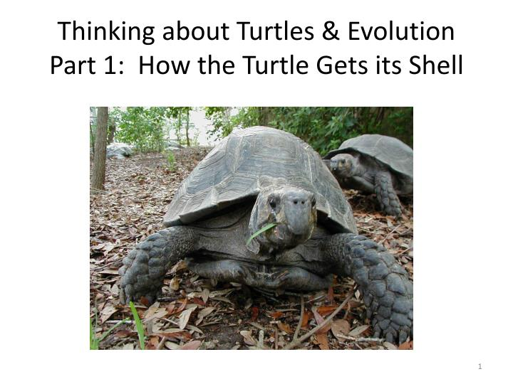 thinking about turtles evolution part 1 how the turtle gets its shell n.
