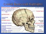 cranial bones red highlight