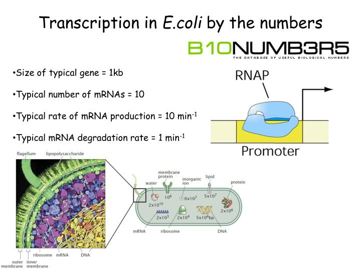 transcription in e coli by the numbers n.
