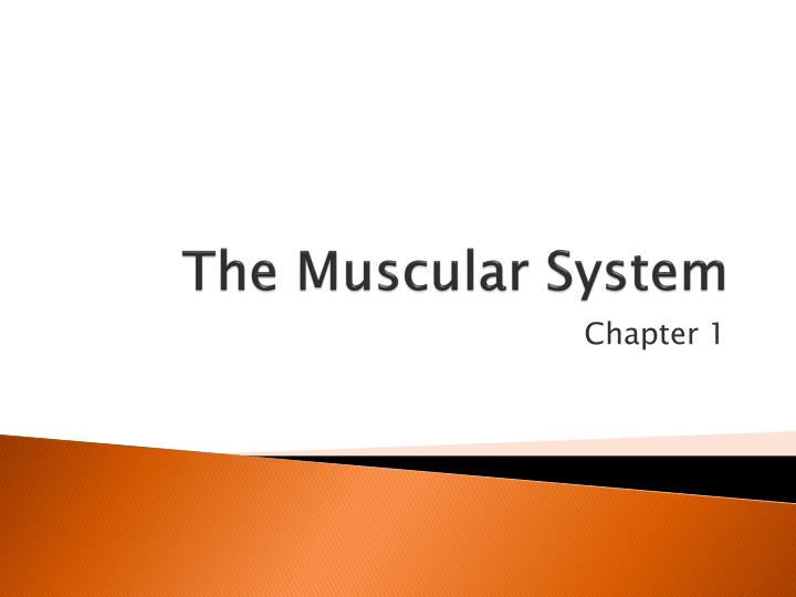 the muscular system n.