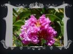 lagerstroemia indica pictures