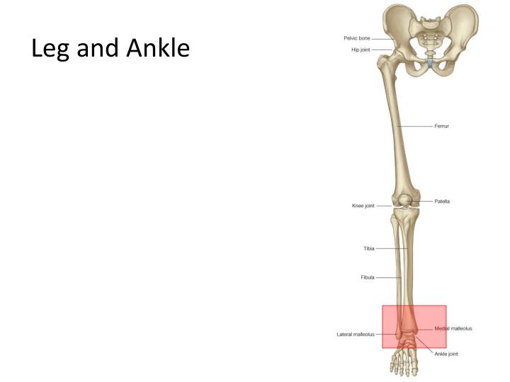 leg and ankle n.