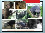 the binturong