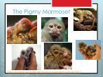the pigmy marmoset