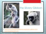 the silvery gibbon