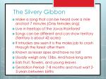the silvery gibbon1