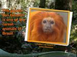 golden lion tamarin or golden marmoset