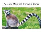 placental mammal primates lemur