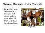 placental mammals flying mammals