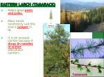 eastern larch tamarack