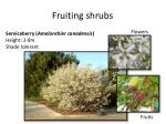 fruiting shrubs1