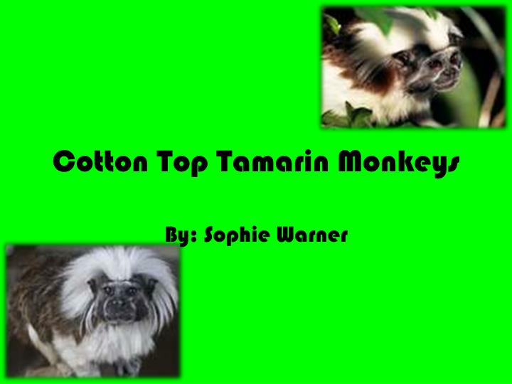 cotton top tamarin monkeys n.