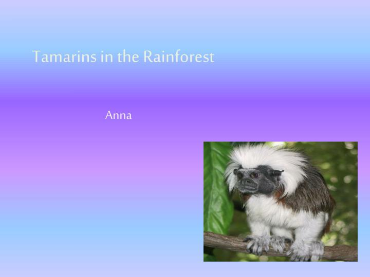 tamarins in the rainforest n.
