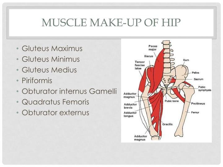 Muscle make up of hip