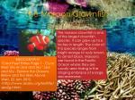 the maroon clownfish