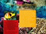 the tomato clownfish