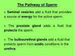 the pathway of sperm1