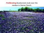 proliferating bluebonnets took over the median in steiner ranch