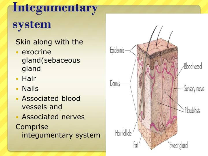 PPT - Integumentary System PowerPoint Presentation - ID:2108514
