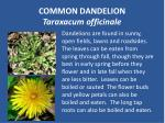 common dandelion taraxacum officinale