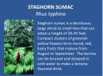 staghorn sumac rhus typhina