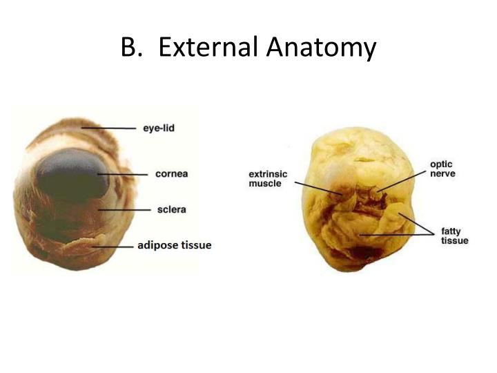 Ppt Sheep Eye Dissection Powerpoint Presentation Id2108972
