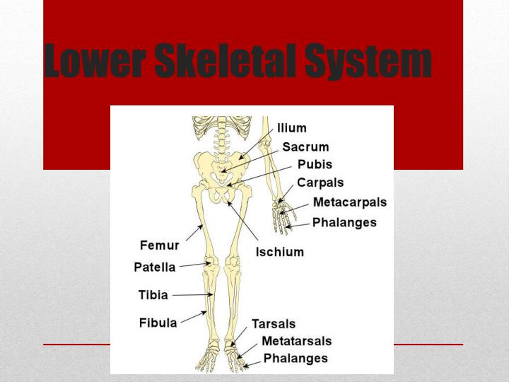 lower skeletal system n.
