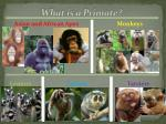 what is a primate