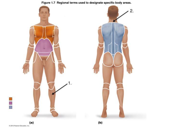 Figure 1 7 regional terms used to designate specific body areas