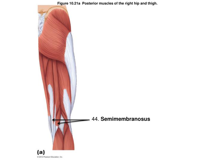 Figure 10.21a  Posterior muscles of the right hip and thigh.