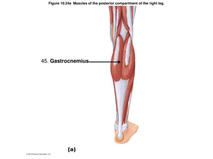Figure 10.24a  Muscles of the posterior compartment of the right leg.
