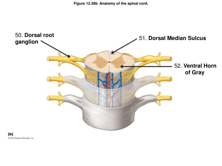 Figure 12.28b  Anatomy of the spinal cord.