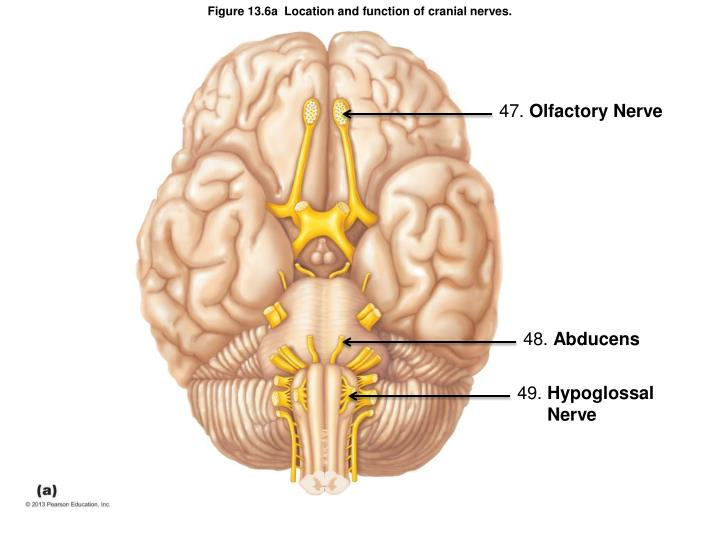 Figure 13.6a  Location and function of cranial nerves.