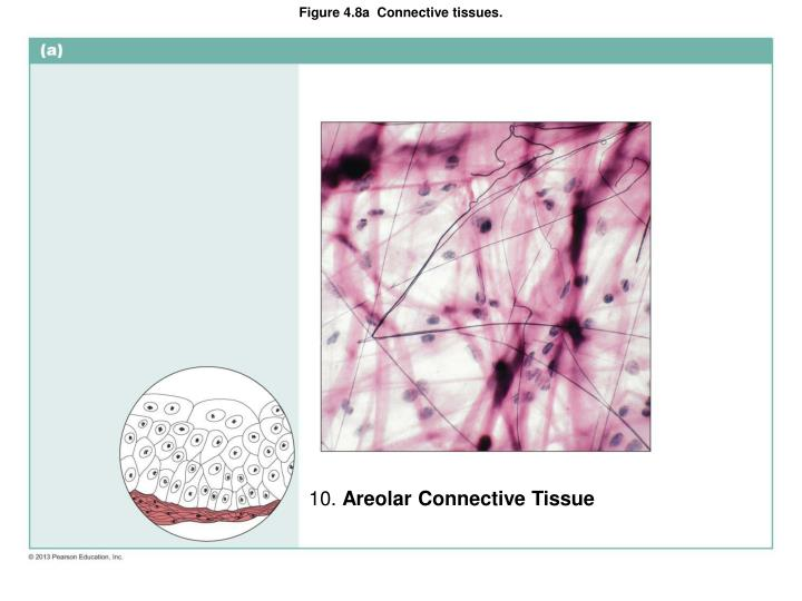 Figure 4.8a  Connective tissues.