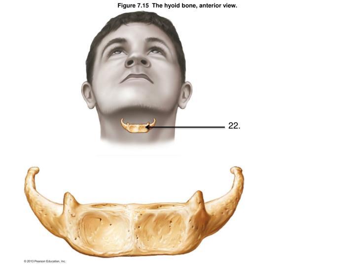 Figure 7.15  The hyoid bone, anterior view.