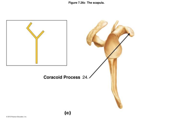 Figure 7.26c  The scapula.