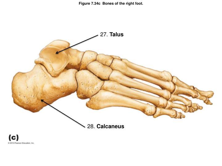 Figure 7.34c  Bones of the right foot.
