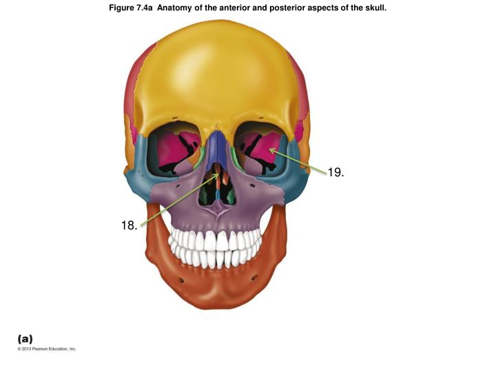 Figure 7.4a  Anatomy of the anterior and posterior aspects of the skull.