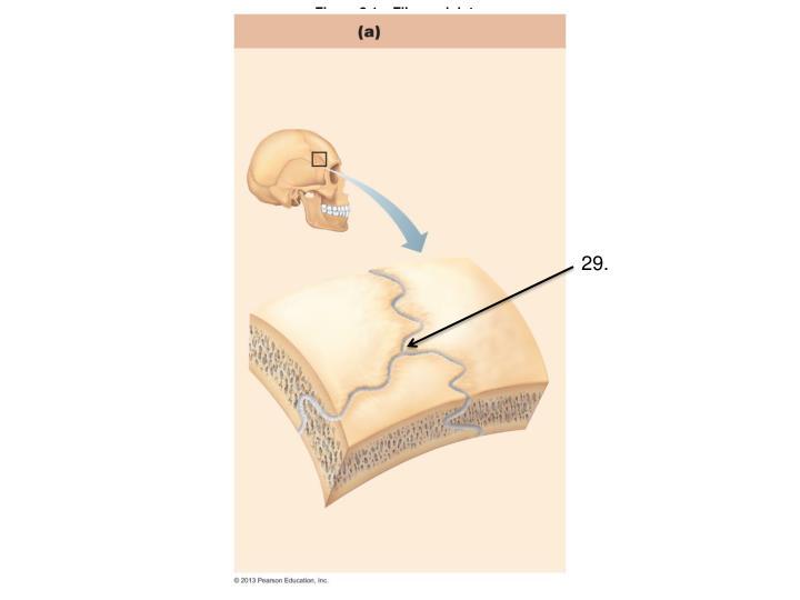 Figure 8.1a  Fibrous joints.