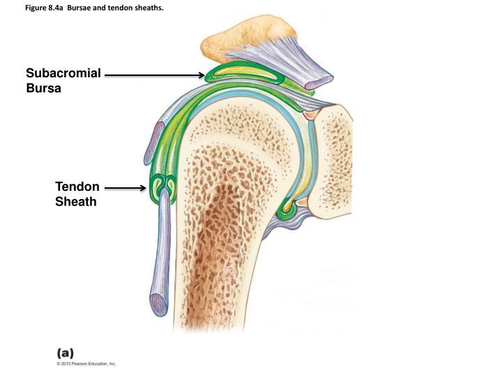 Figure 8.4a  Bursae and tendon sheaths.