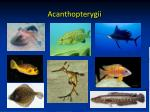 acanthopterygii1