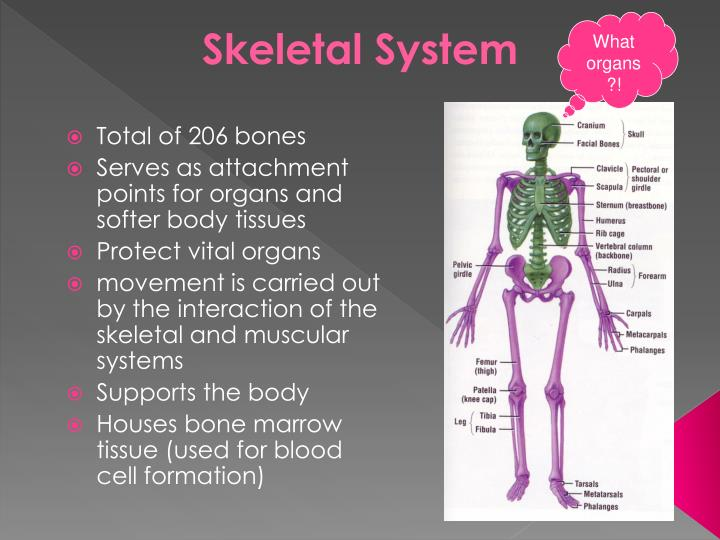 PPT - Anatomy and Physiology of the Skeletal System PowerPoint ...