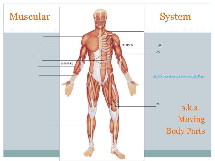 MuscularSystem