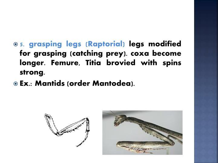 5. grasping legs (Raptorial)