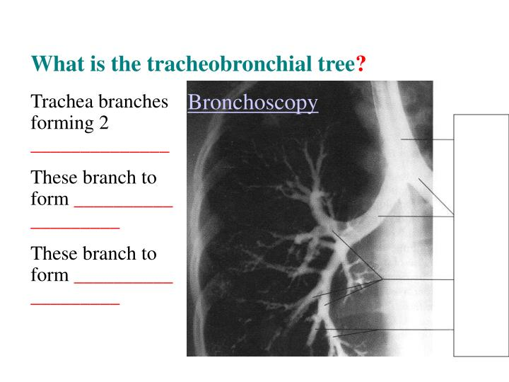 What is the tracheobronchial tree